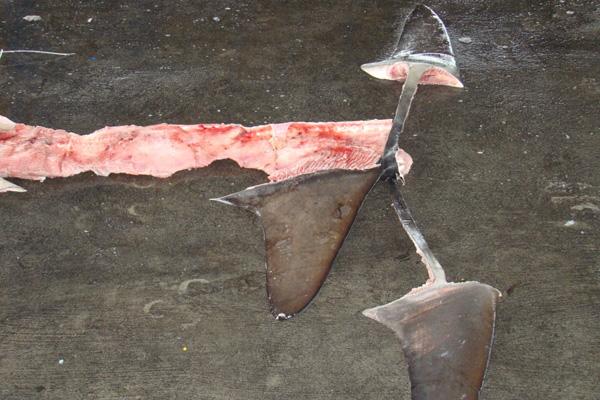 Purple-Notice-shark-finning-3