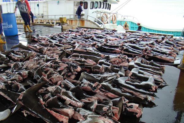 Purple-Notice-shark-finning-home-page