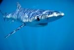 Les aimants : des pièges pour les requins bleus?