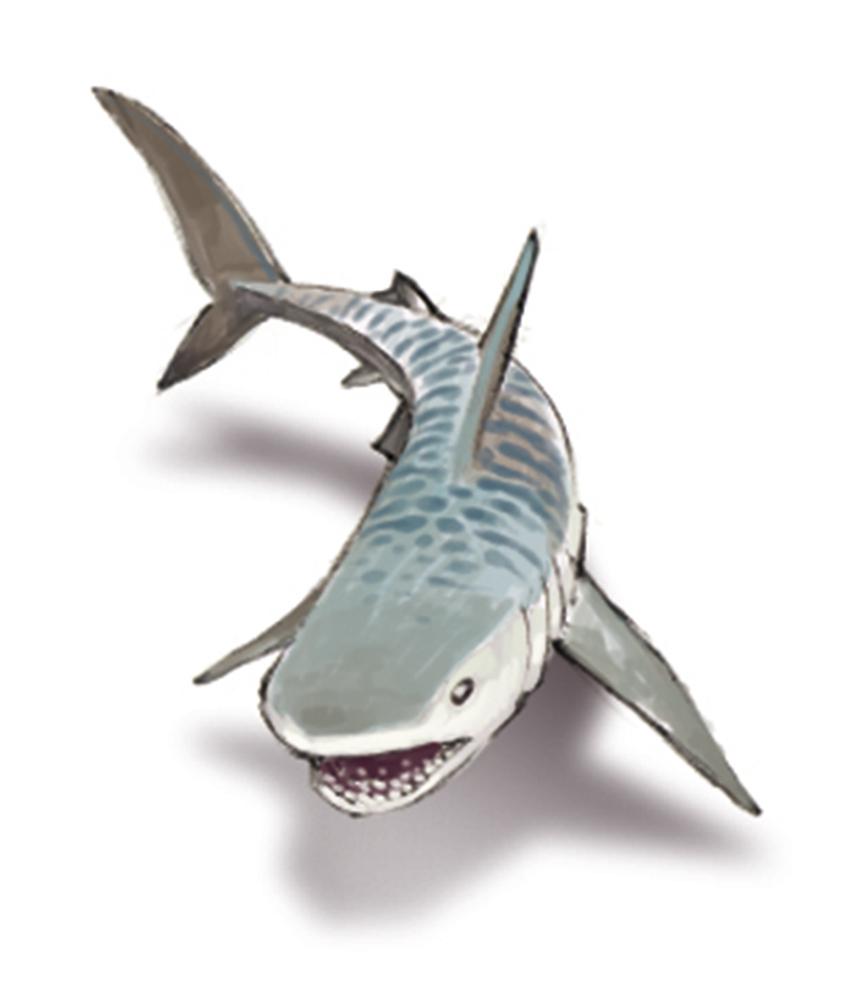Tat des connaissances relatives la contamination des - Photo de requin tigre a imprimer ...
