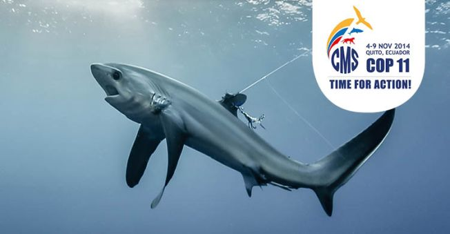 Pelagic Thresher Shark © Doug Perrinne, SeaPics.com